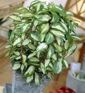 Zimmerpflanze Große Blätter : wachsblume porzellanblume pflanzen pflege und tipps ~ Lizthompson.info Haus und Dekorationen