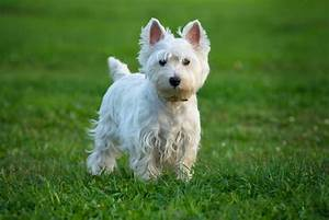 West Highland White Terrier Images 4 Cool Hd Wallpaper ...