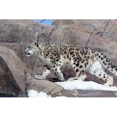 snow leopards boii its litt on emaze