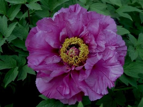 growing peonies in florida 1644 best flowers peonies images on pinterest peonies paeonia lactiflora and pretty flowers