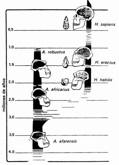 Arbol Genealogico Evolucion Hombre Hominidos Origen Problema