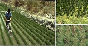 Rice production | The Azolla Foundation