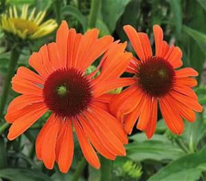 Sonnenhut Pflanze Kaufen : sonnenhut dehner garten center ~ Buech-reservation.com Haus und Dekorationen