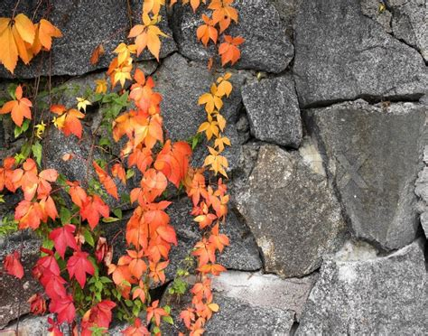 grapevine autumn colors  grey stone wall background