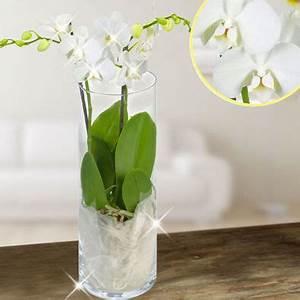 Luftwurzeln Bei Orchideen : phalaenopsis orchideen die phalaenopsis orchidee ~ Frokenaadalensverden.com Haus und Dekorationen