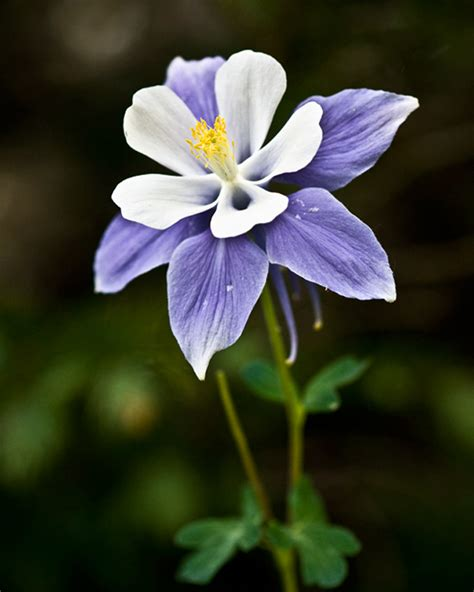 the columbine flower audrey allure sunday flowers columbine flowers