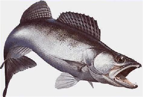 comment cuisiner un sandre poisson eau douce brème sandre brochet gardon perche silure