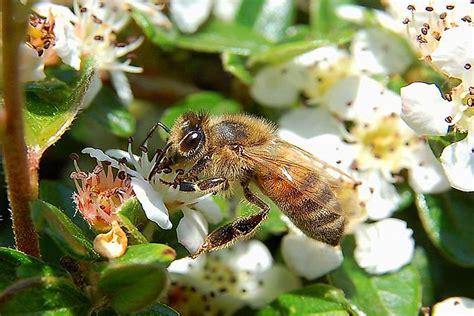 types  honey bees worldatlascom