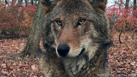 Wolf Encounter Encounter With Critically Endangered Red Wolf Youtube