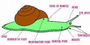 The Anatomy Of A Snail