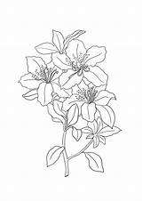 Lily Coloring Pages Tiger Lilies Flower Printable Sheet Getcolorings Getdrawings Clipartqueen sketch template