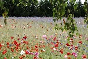 Graines Fleurs Des Champs : prairie fleurie semis entretien gamm vert ~ Melissatoandfro.com Idées de Décoration
