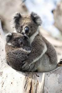 21 best images about Koala on Pinterest | The smalls ...
