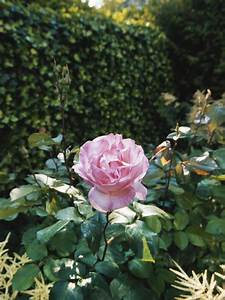 Growing Groundcover Roses