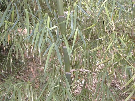 ornamental bamboo species bamboo australia 187 clumping species for feature or ornamental