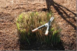 pruning miscanthus grass how to cut back big ornamental grasses coast gardening