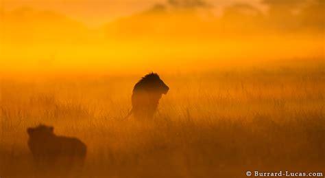 male lion sunrise burrard lucas photography