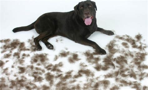 shed dogs how to protect your home from shedding dogslife