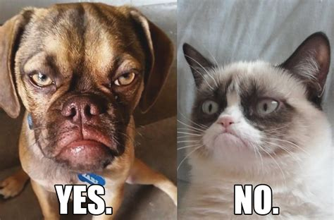 Grumpy Cat Vs Grumpy Dog The Battle