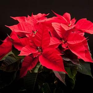 Weihnachtsstern Pflanze Kaufen : weihnachtsstern rote bl tter der weihnachtsstern die rote ~ Michelbontemps.com Haus und Dekorationen