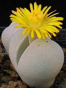 Dinteranthus microspermus - Stone Plant, Living Stone ...