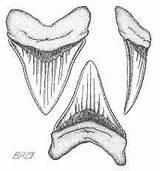 Coloring Shark Teeth Result sketch template