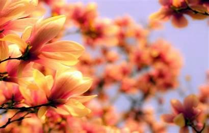 Orange Magnolia Flower Blurred Desktop цветы Telegram