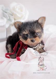 Teacup Yorkies For Sale   Teacups, Puppies & Boutique