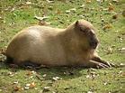 Bonnie And Clyde Capybaras Escape From Toronto Zoo ...