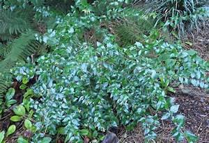 Weiß Blühender Strauch : immergr ner bl hender kleiner strauch abelia grandiflora ~ Lizthompson.info Haus und Dekorationen