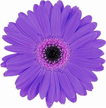 Purple Daisy Transparent Flower Gerbera Cut Jeanicebartzen27