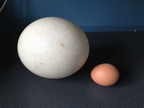 Peacocks, Piglets And Ostrich Eggs