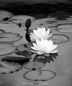 Flower Black An... White Water Lily Quotes