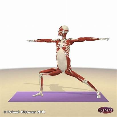 Yoga Poses Warrior Muscles Kinesiology Retiring