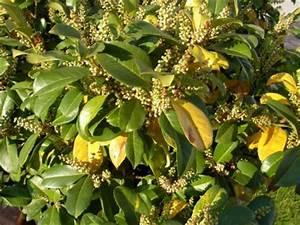 Kirschlorbeer Braune Blätter : kirschlorbeer bekommt braune und l chrige bl tter ~ Lizthompson.info Haus und Dekorationen
