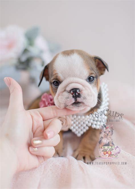 adorable english bulldog puppies  sale teacup puppies