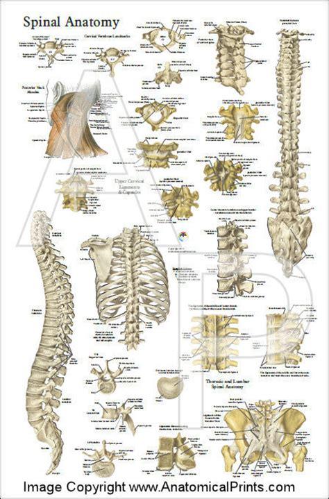 Cervical Spine Vertebrae Anatomy