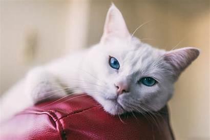 Cats Cat Pain Veterinary Hemangiosarcoma Care Animal