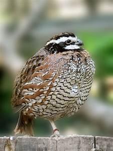 BobWhite Quail | Birds | Pinterest