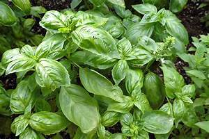 How To Plant And Grow Basil