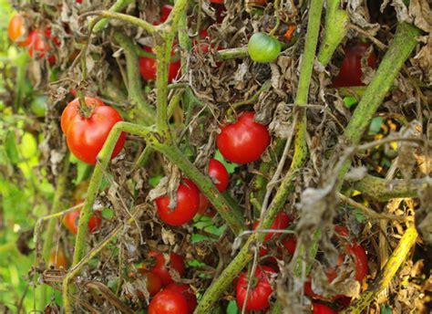 comment cuisiner les tomates vertes comment sauver les tomates du mildiou et cuisiner une