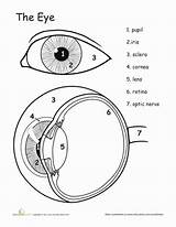 Eye Anatomy Human Worksheet Worksheets Science Awesome Grade Body Education Coloring Eyes Parts Study 5th Lesson Biology System Tools Well sketch template