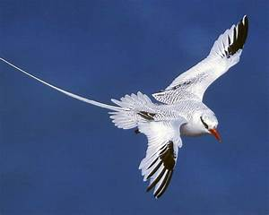 Red Billed Tropicbird Audubon Field Guide
