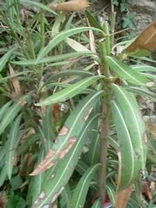 Laurier Rose Maladie : mes plantes m diterran ennes anecdotes d 39 hier et d ~ Melissatoandfro.com Idées de Décoration