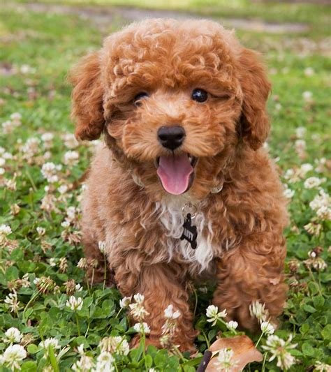 Poodle Mixes The Most Popular Doodle Dogs That Could Be