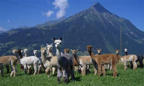alpacas  switzerland  aeschi bei spiez familienlebench