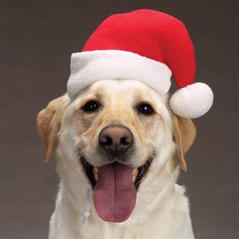 santa hat at baxterboo - Dog Christmas Hat