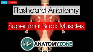 Superficial Back Muscles | AnatomyZone  Superficial