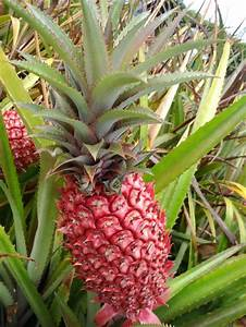 Red pineapple or Ananas bracteatus is a species of the ...