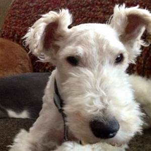 Wire Hair Fox Terrier | My Life | Pinterest | Cleanses ...